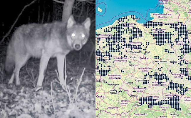 Wilki wchodzą do dużych miast. Oto najnowsza mapa