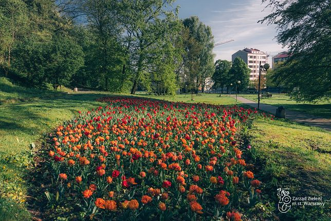 Warszawa. Jeszcze kwitną niezwykłe tulipany w parku Kazimierzowskim. Warto tu jednak zajrzeć później - czeka tu wiele botanicznych atrakcji
