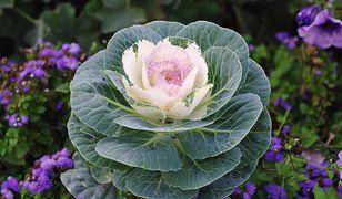 Kapusta zamiast kwiatów doniczkowych? Poznaj kapustę ozdobną!