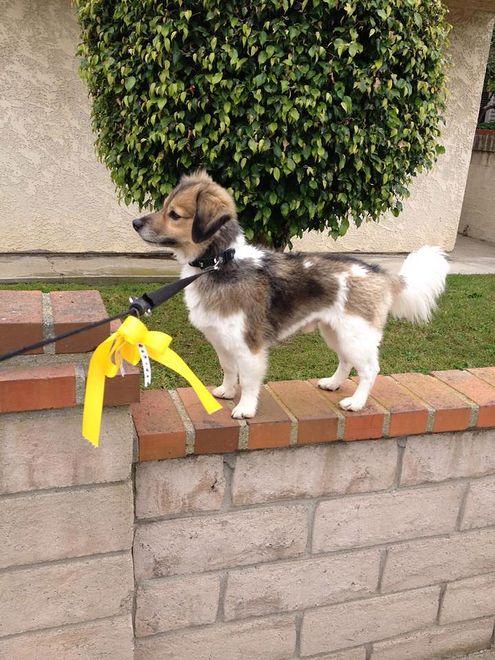 Żółta kokarda u psa nie jest ozdobą. Warto wiedzieć, co oznacza