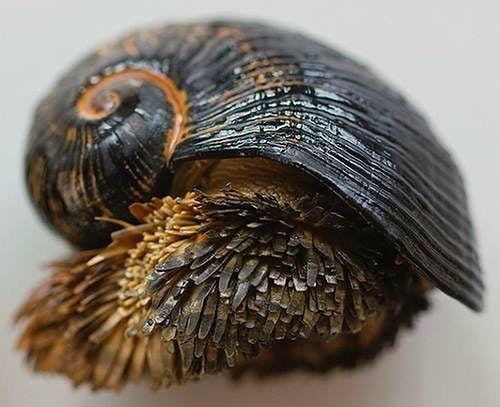 Żelazny ślimak morski.
