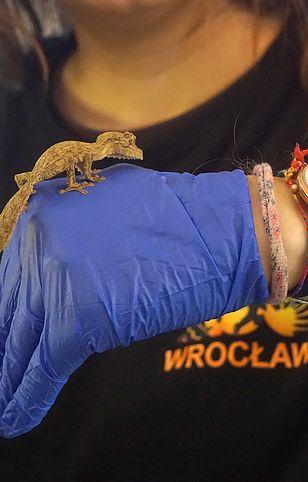 Młode gekony Henkela mają ok. 3 cm