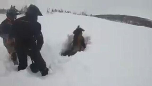 Dwóch mężczyzn odkopuje ze śniegu łosia.
