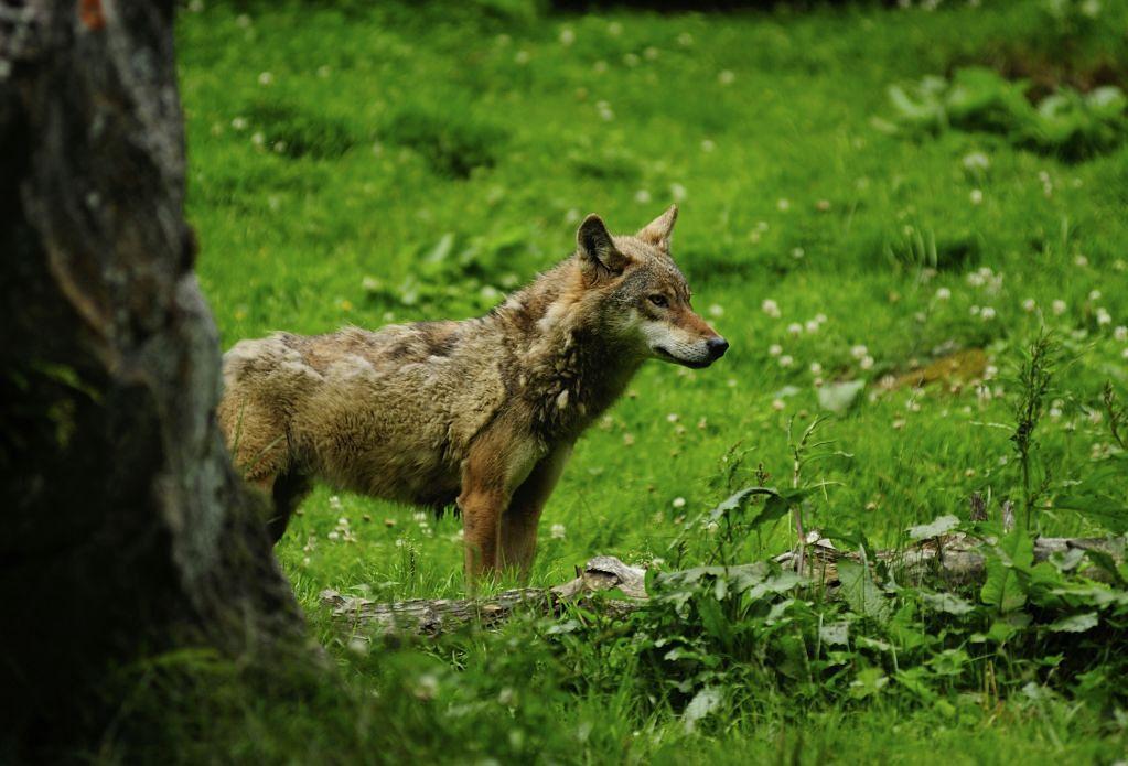 Wilk - zdjęcie poglądowe