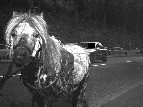 Koń piratem drogowym? Został złapany przez fotoradar
