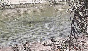 Włochy. W okolicy Rzymu szukają krokodyla. Jest ogromny, ale nie wiadomo, czy istnieje