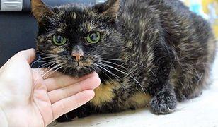 Jeden z siedmiu kotów czekających na adopcję w łódzkim schronisku