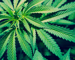 Walka z narkotykami. Chiński satelita wytropił plantację konopi