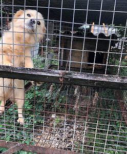 Psy w klatkach i wygłodzone lisy. Interwencja obrońców zwierząt w Goliszowie