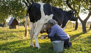 Mleko od krów może być przydatne w tworzeniu wiele leków.