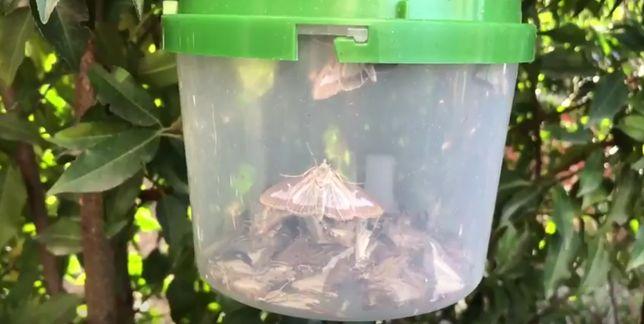 Inwazja żarłocznego owada we Wrocławiu. Mieszkańcy alarmują