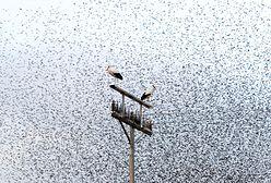 To już koniec zimy? Bociany ruszyły w drogę powrotną do Polski