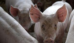 Ślady rakotwórczego glifosatu wykryto u świń z fermy hodowlanej w Polsce.