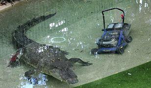 Krokodyl w starciu z maszyną