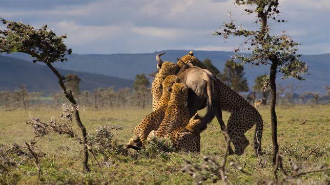 Antylopa gnu nie miała szans ze sforą głodnych gepardów