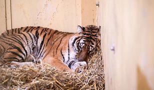 Tygrysy, które znalazły schronienie w poznańskim zoo, po donosie zostały poddane kwarantannie
