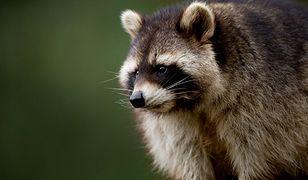 Jenoty grasują w polskich lasach - złe warunki atmosferyczne im nie straszne