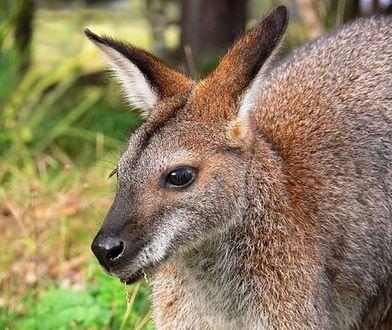 Kangur uciekinier nie żyje