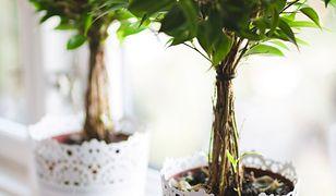 Rośliny doniczkowe szkodzą zdrowiu?