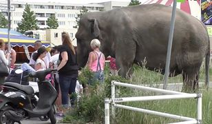 4,5-tonowa słonica spacerowała sobie po ulicach Berlina