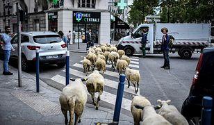 Francuscy pasterze zorganizowali podobną akcję już w 2018 r.