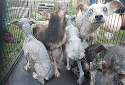 Prawie 40 wycieńczonych psów i zwłoki zwierząt w kartonie na posesji pod Garwolinem