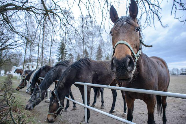 Klapa aukcji Pride of Poland. W Janowie Podlaskim sprzedano tylko sześć koni