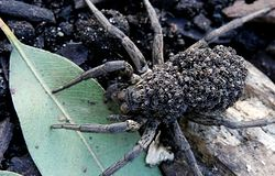 Kładzie sobie ogromne pająki na kark