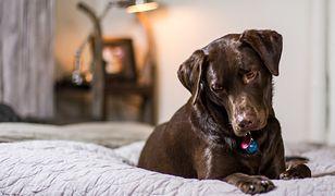 Labrador – jak szkolić, czym karmić?