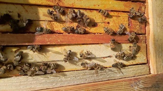 W Chmielniku z powodu bardzo mocnego zatrucia, w krótkim czasie zmarło ok. 2,5 miliona pszczół z 66 rodzin.