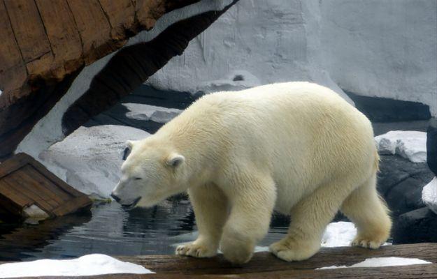 """""""Najsmutniejszy miś polarny na świecie"""" wystawiony na wystawie w chińskim centrum handlowym"""