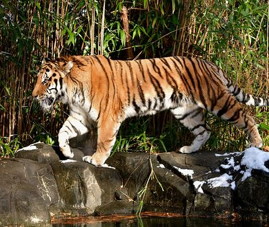 Testowi poddano kilka tygrysów i lwów w nowojorskim zoo