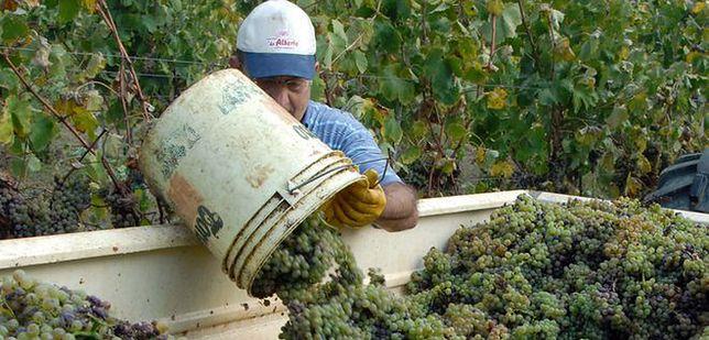 Praca sezonowa przy zbiorze winogron
