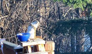 Nietrzeźwa wiewiórka