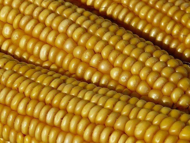 Liczba rzędów w kolbie kukurydzy zawsze jest parzysta