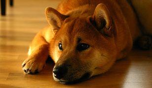 Wizerunek psa Shiba Inu został wykorzystany przy tworzeniu żartu z bitcoina. Teraz ten żart wart jest ponad miliard dolarów.