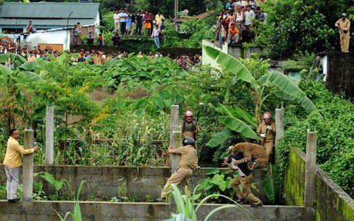 Dziki lampart rzucił się na ludzi - przerażające zdjęcia