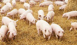 """Protesty przeciwko """"fabryce świń"""" w niemieckim zagłębiu bezrobocia"""