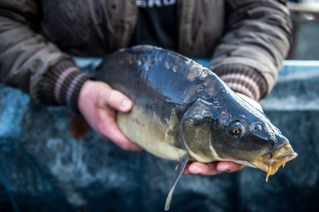 Polskiego karpia zastąpi import z Chin? Posłowie PO krytykują rząd za brak wsparcia rybactwa śródlądowego