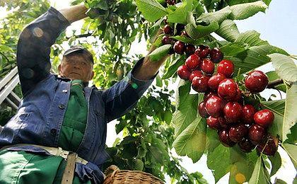 Zbiory owoców będą gorsze niż w ubiegłym roku
