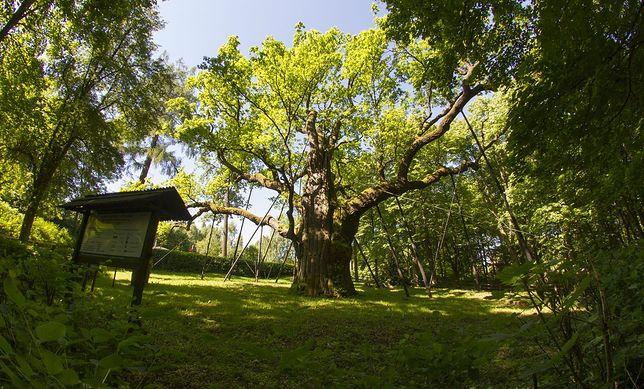 Pomnikowe drzewa w Polsce. Najstarszy dąb w Polsce ma 760 lat
