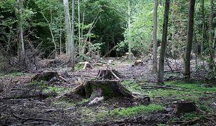 Niemiecki sąd zezwolił na wycinkę starożytnego lasu. Zamiast niego kopalnia węgla!