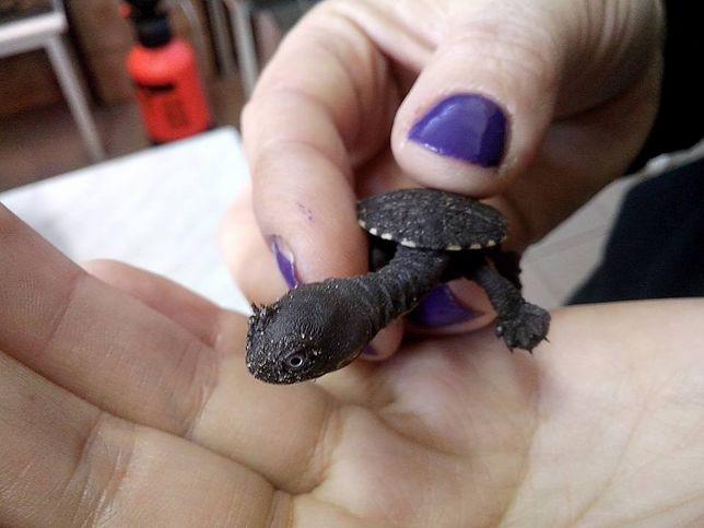 Krytycznie zagrożony gatunek żółwia w warszawskim zoo