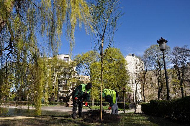 W Ogrodzie Saskim posadzono nowe drzewa