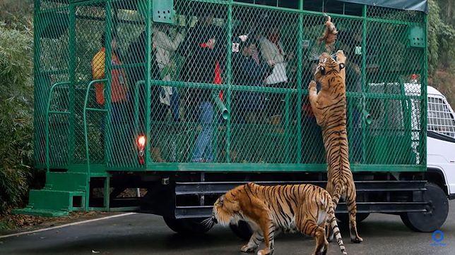 Zoo zamyka odwiedzających w klatkach. Zwierzęta wędrują swobodnie