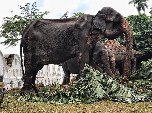 70-letnia Tikiiri jest ekstremalnie wychudzona, czego nie widać w trakcie świątecznego pochodu