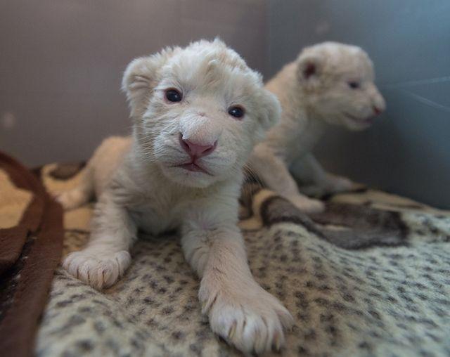Białe lwiątka w Zoo Safari w Borysewie - zobacz zdjęcia