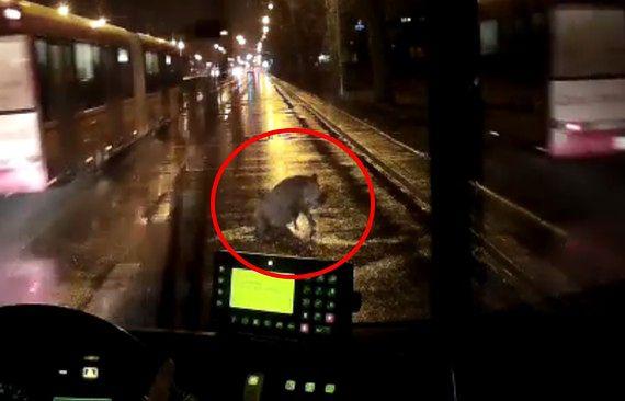 Kierowca MZA walczył o życie dzika. Zobacz film z momentu zdarzenia