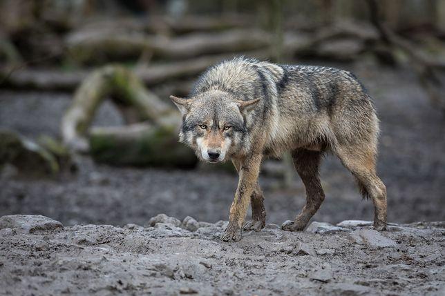 Chłopiec został przygarnięty przez stado wilków