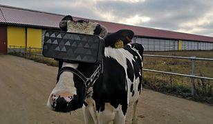 Okulary VR dla krów mogą niedługo stać się standardem w Rosji